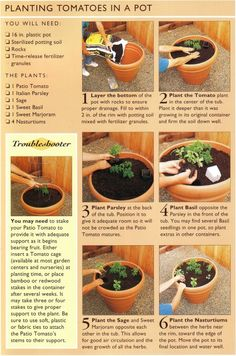 Planting Tomatoes In a Pot