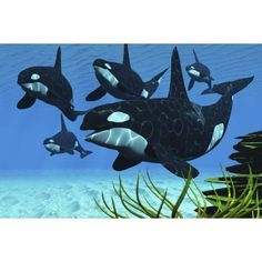 A pod of killer whales swim along a reef looking for fish prey Canvas Art - Corey FordStocktrek Images (18 x 12)