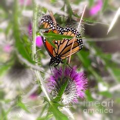 Elegant Monarch Butterfly On Pink Flower Fine Art Photography Prints   MORE OF MY AWARDWINNING PHOTOGRAPHS CAN BE SEEN AND PURCHASED ON MY WEBSITE: http://jerry-cowart.artistwebsites.com/   http://fineartamerica.com/featured/elegant-monarch-butterfly-on-pink-flower-jerry-cowart.html