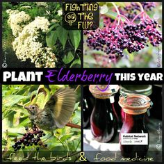Creating your plant list for spring yard additions? Find out which type of elderberry (Sambucus nigra) is native to your region and add some. This plant is amazing for wildlife and humans, alike!