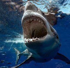 No automatic alt text available. Shark Pictures, Shark Photos, Shark Images, Shark Week, Orcas, Hai Tattoo, Shark Bait, Shark Tattoos, Great White Shark