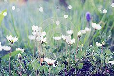Fiori bianchi sul prato inglese