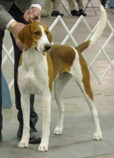 American Fox Hound dog photo | Calder the American ...