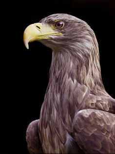 I love the Golden Eagle!!!