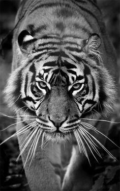 #Sumatran #Tiger - #Photography - http://shop.photo4me.com/picture.aspx?id=109605&f=canvas