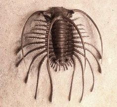 """Welcome home to one of the rarest trilobites in the world. Thanks to a gift by Robert Hazen, this fossil of a new Apianurus species is now a part of the Museum's collection. This beautiful fossil was discovered by paleontologist Jake Skabelund in 2011 at the Walcott-Rust Quarry in New York."" --Deep Time at the Smithsonian Facebook Page:"