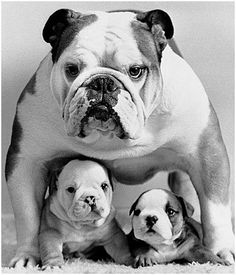 "Protective English Bulldog Mum ~ Love that fierce ""Don't mess with me!"" look on her face!"