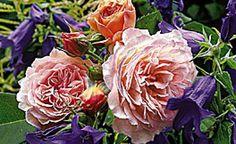Rosen und ihre farbigen Begleiter: Gelb, Blau