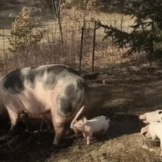 A Pigs Tail Tale