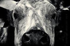 cow cattle animal portrait bovine close crop detail contrast silver efex nik dof photography photo image scotland bw black & white B mono monochrome nikon d700 photoaday rob cartwright nature
