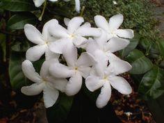 Murta - O perfume inunda a casa quando floresce.
