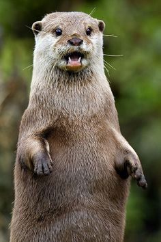 Surprised Otter by sparky2000 on Flickr.