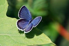 PQ - eastern tailed blue butterfly