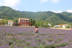 #Lavender Farm in Goseong, #Gangwon Province, Korea
