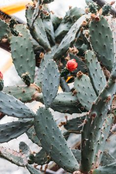 Cactus and succulent photo diary 2016 Lobster and Swan