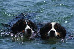 Bernie and Brigitte - Bernese Mountain Dogs