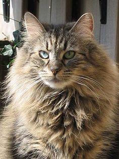 Een Noorse boskat