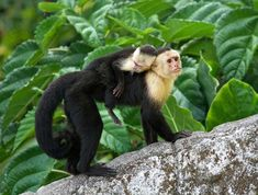 Capuchin monkeys live in the low-lying tropical forests of Central and South America, from Honduras to Columbia. After a capuchin monkey is born, the infant lives on its mother's back for several weeks. Usually only one baby is born at a time, but occasionally capuchin monkeys will have twins.