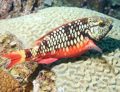 Juvenile Stoplight Parrotfish (Sparisoma viride) - Caribbean