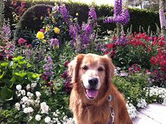 Five ways to get your dog to come when called. Most Beautiful Dog Breeds, Beautiful Dogs, Dogs Golden Retriever, Golden Retrievers, Sheep Farm, I Like Dogs, Rottweiler Dog, Sleeping Dogs, Dog Quotes