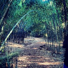 Bamboo forest, Rutgers Gardens