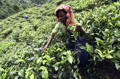 Here's the real story behind your cup of tea  BY P. J. TOBIA  February 12, 2016    When you wrap your hands around a toasty cup of tea this winter, consider the source. Human rights groups allege tea-pickers worker in dangerous conditions. This week's Shortwave investigates the claims.