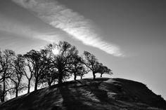 Grand old oaks