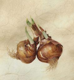 Paperwhite Narcissus Bulbs Karen Kluglein