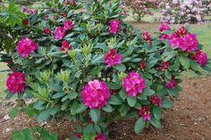 Różanecznik Pearce`s American Beauty Rhododendron sprawdź ceny sadzonki w krzewyozdobne.net