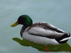 http://faaxaal.forumgratuit.ca/t1952-photos-d-anatides-canard-colvert-anas-platyrhynchos-mallard-wild-duck