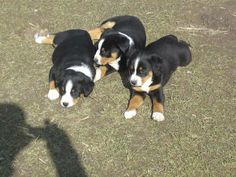 Appenzeller sennenhund welpen dülmen | Posot Kleinanzeigen