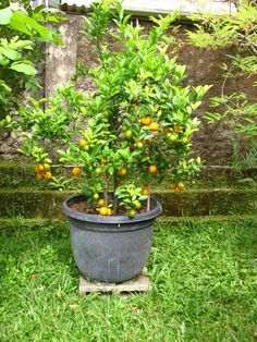 Fruit in pot - Kim Kap Orange, Jeruk Kimkap