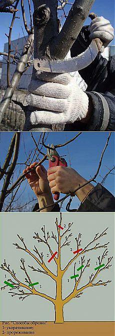 Правильная обрезка плодовых деревьев осенью.   Мое подворье