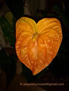 Anthurium - Orange