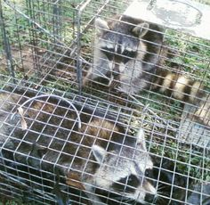 SassyGals Nuisance Trapping & Predator Control  Raccoon removal & relocation