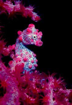 Pink seahorse - Australian Geographic