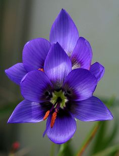 Geissorhiza splendidissima is a species of the Bokkeveld Plateau in the northwest Cape of South Africa and belongs to the iris family.