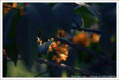Osmanthus fragrans 'Aurantiacus'