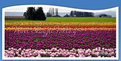 Time for the 30th Annual Skagit Valley Tulip Festival  --  Official Website of the Skagit Valley Tourism Group