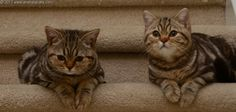 Anahata - British Shorthair Cats Cattery