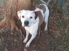 Adoptable Fridays: Meet Jessie! Jessie is an adoptable Pit Bull Terrier Dog in Oklahoma City, OK. Jessie is a love bug and everyone here at the shelter adores this dog. Find out more about Jessie! #pets #animals #dogs
