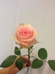 Rosa - Soduko - Rose - Rosa