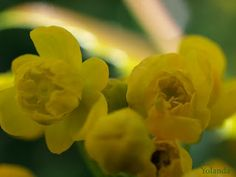 Rincon de Dalanyo: Flores silvestres Amarillas