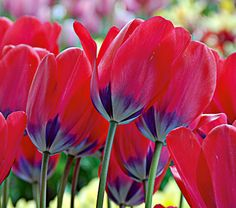 if tulips were pretty for more than a day or two, i would jump all over these.