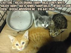 28 JUL - THE REMAINING ORANGE AND TABBY KITTENS OF THIS LITTER OF 3 HAVE DIED IN SHELTER AFTER REACTING ADVERSELY TO FLEA TREATMENT GIVEN ON 23 JUL WITH A PRODUCT CALLED ACTIVYL - SUPPOSEDLY SUITABLE FOR KITTENS 8 WEEKS AND MORE . (NOT). MADE BY MERCK INDUSTRIES AND RECOMENDED FOR USE RECENTLY BY SOUTHERN VET IN WHITEVILLE. Tabby Kittens, Cats, Flea Treatment, 8 Weeks, Shelters, Fleas, Southern, Orange, Animals