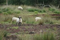 Sheep herd.