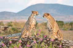 Cheetahs by laurentmaggiore via http://ift.tt/2drh3FW