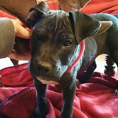 Chichester, New Hampshire - Pit Bull Terrier. Meet Charles--arriving soon in New England, a for adoption. https://www.adoptapet.com/pet/20300984-chichester-new-hampshire-pit-bull-terrier-mix