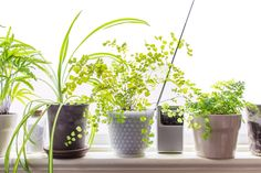 If you've ever grown (or killed) a maidenhair fern, you'll know that these delicate, lacy beauties are quite picky when it comes to their growing conditions. We've featured plenty of tough-as-nails plants (spider plants, Chinese evergreens, cast-iron plants, and dracaena) that can tolerate a wide range of conditions, but maidenhair ferns are the opposite. As long as you know that there's no fooling around when it comes to meeting its needs, though, this fern will reward you with gorgeous…