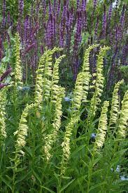 Digitalis lutea - or these slender pale yellow perennial foxgloves